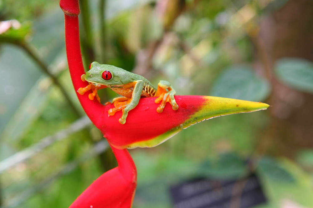 CR_2685 Red-eyed treefrog, Parque Reptilandia; copyright Christopher P Baker