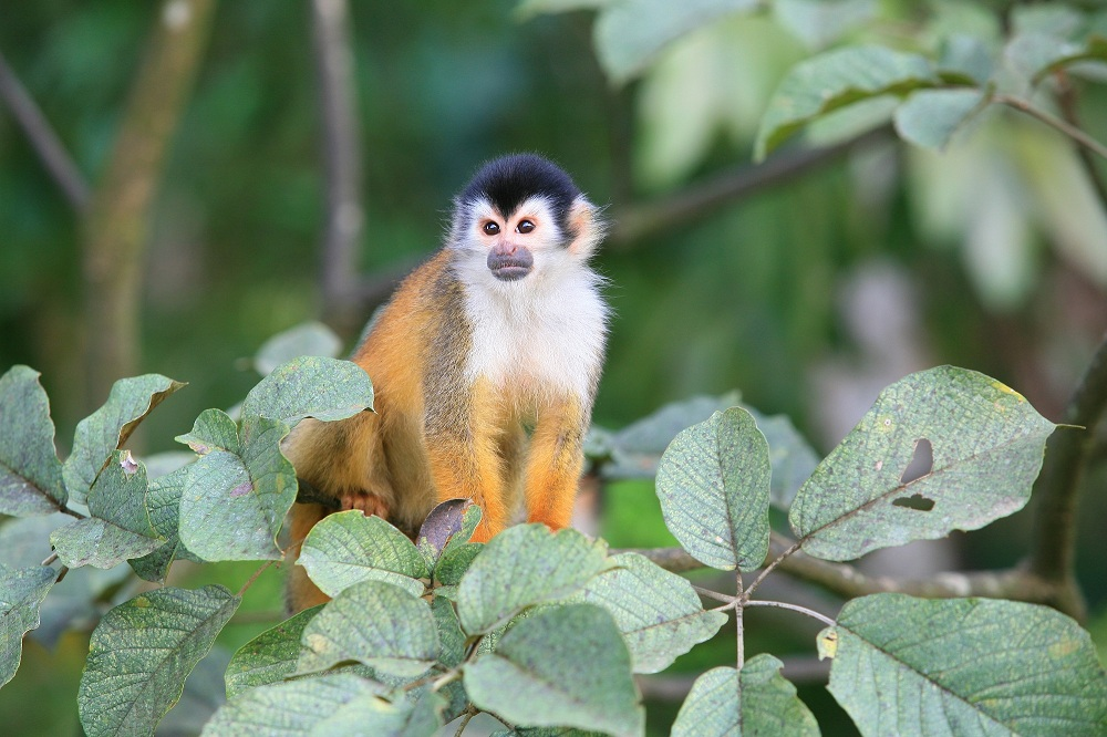 CR_4502 Squirrel monkey, Golfito; copyright Christopher P Baker