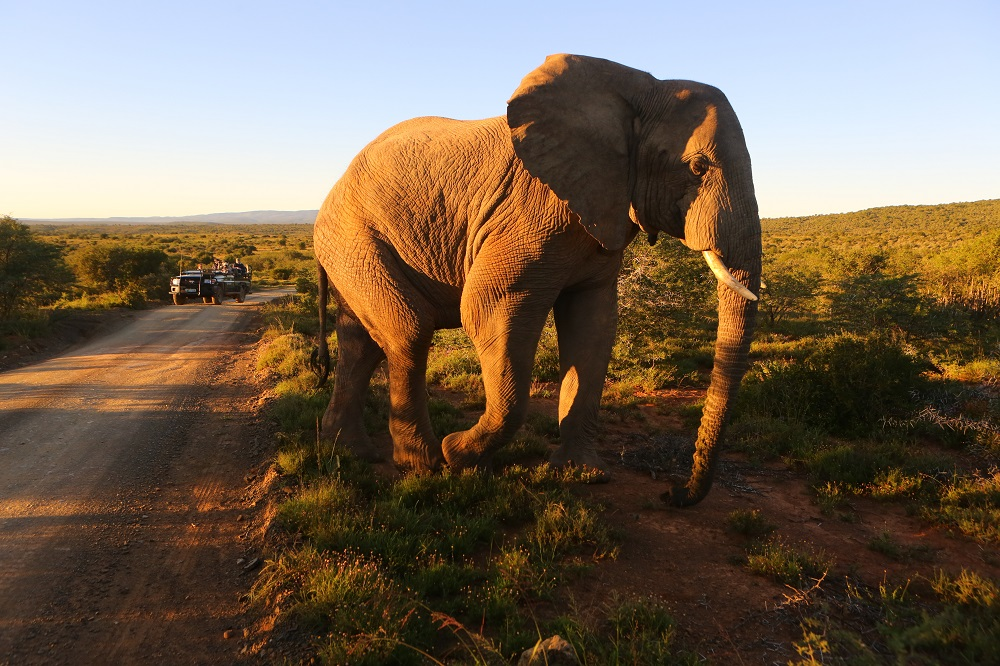 SX2A3342 Elephant at sunrise in Kwandwe Game Reserve, South Africa; copyright Christopher P Baker