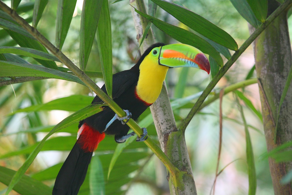 COL_3562 1000px Toucan; copyright Christopher P Baker