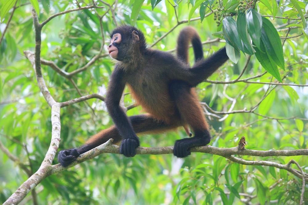CR_1841 1000px Spider monkey; copyright Christopher P Baker