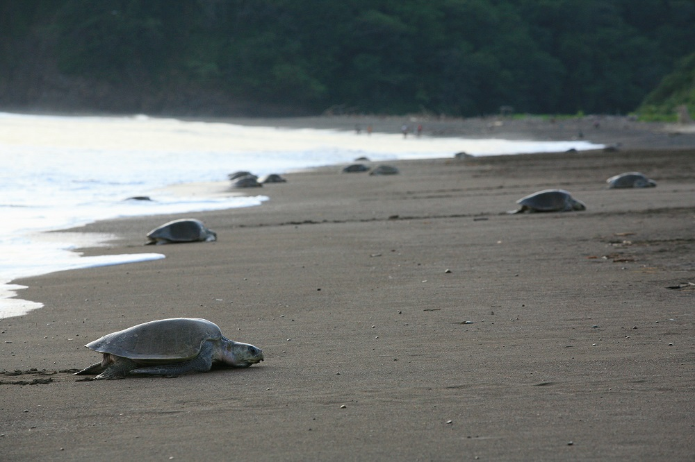 CR_9007 1000px Ridley turtles during an arribada at Playa Camaronal, Costa Rica; copyright Christopher P Baker