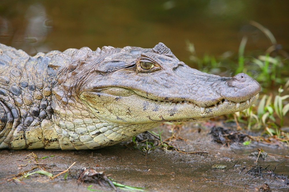 CR_9282 1000px Spectacled caiman; copyright Christopher P Baker