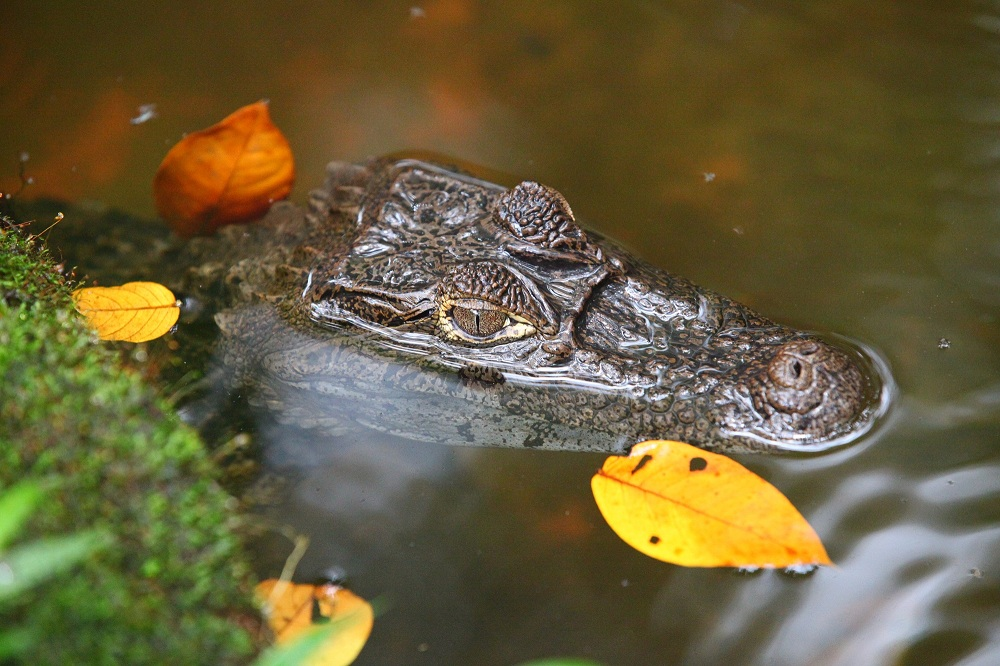 CR_9355 Spectacled caiman; copyright Christopher P Baker
