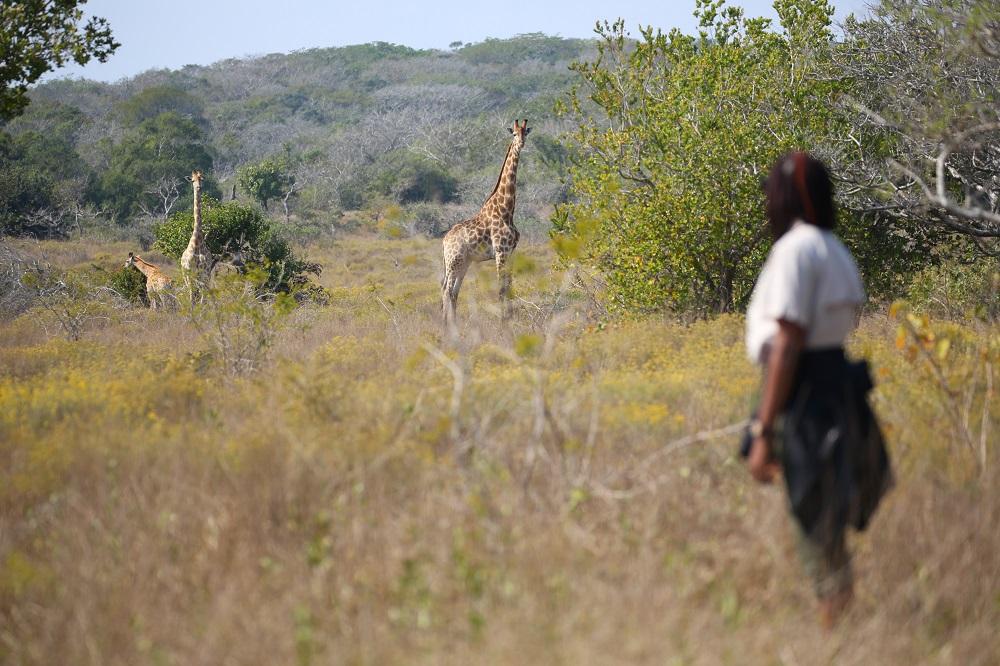 SX2A2217 1000px Giraffe at Maputo Special Reserve, Mozambique; copyright Christopher P Baker