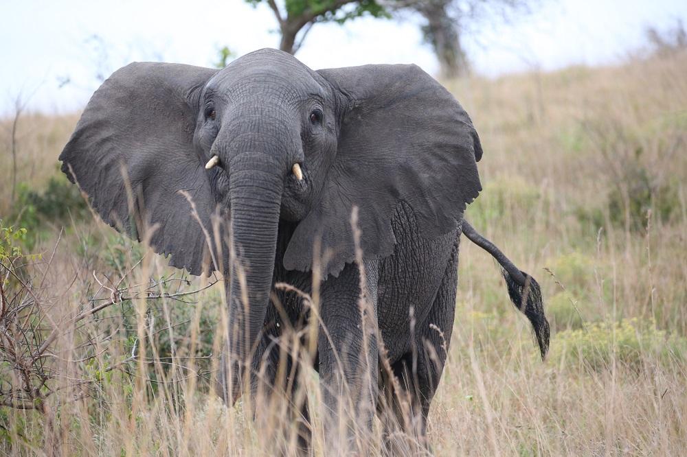 SX2A2264 1000px Elephant at Maputo Special Reserve, Mozambique; copyright Christopher P Baker