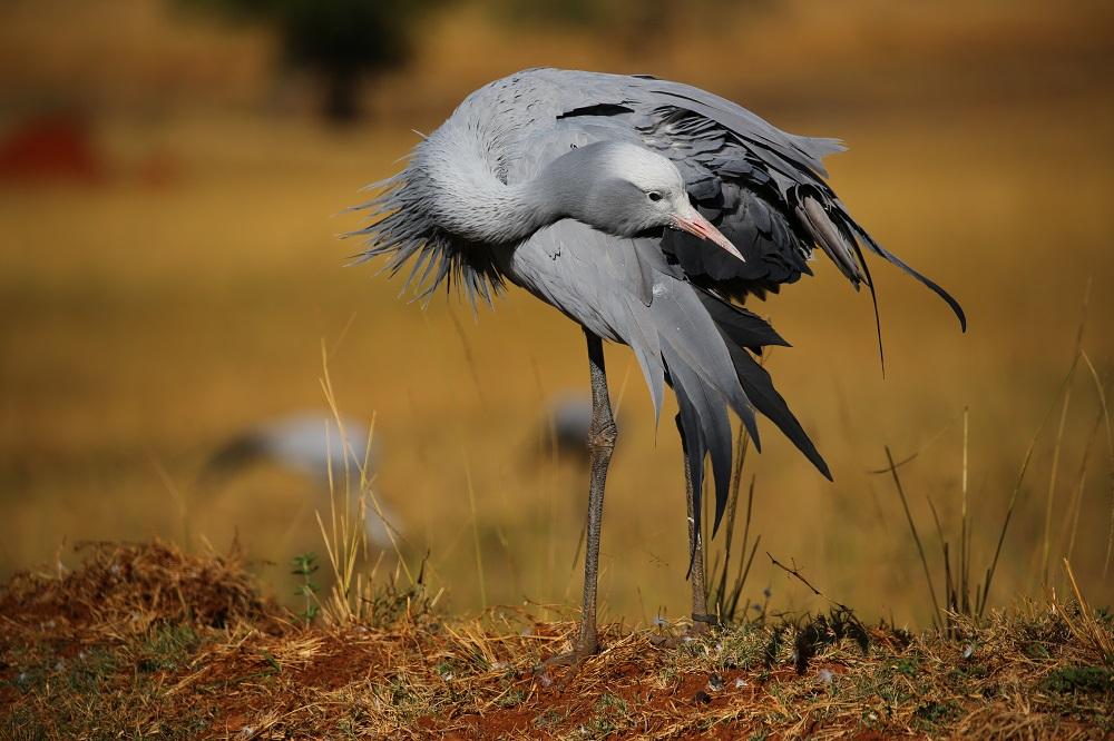 SX2A2886 1000px Blue Crane, Swaziland; Christopher P Baker